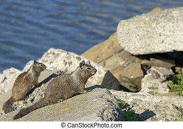 Two eastern gray squirrels on rocks by ocean water