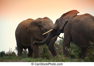 two elephant bulls fight at sunset