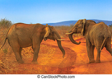 Two Elephant on Kalahari Desert