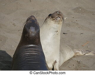 Two elephant seals looking up on beach