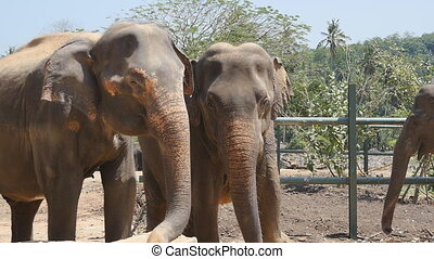 Two elephants at the zoo sprinkles sand itself. Beautiful elephant sprays sand from his trunk. Slow motion Close up
