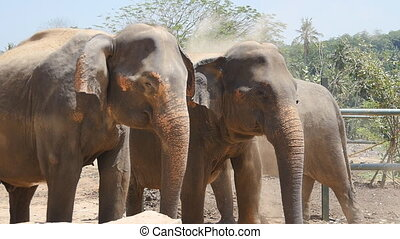 Two elephants at the zoo sprinkles sand itself. Beautiful...