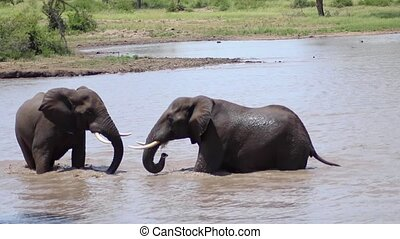 Two Elephants Facing off in River