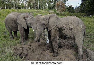 Two Elephants in Knysna Elephant Park, South Africa
