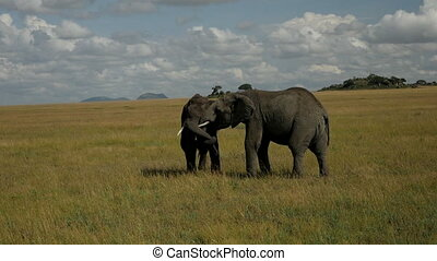 Two elephants play in the national park in Africa.