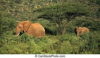 Two elephants walking through the grass