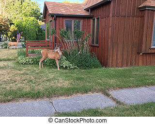 Two elk in a front garden of residential house