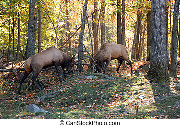 Two elks fighting - Two mature elks (Cervus canadensis)...