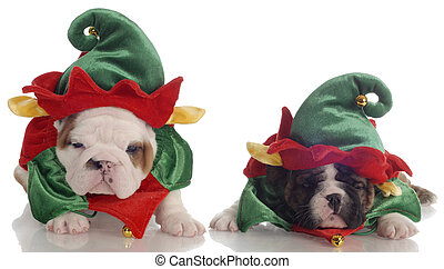 two english bulldog puppies dressed up as santa elves