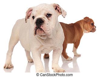 two english bulldog puppies on white background