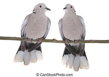 two eurasian collared dove