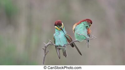 Two european bee-eater sitting on a twig an cleaning ...