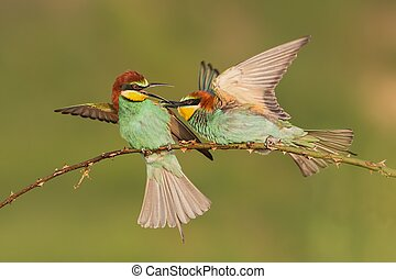 Two european bee-eaters, merops apisater, fighting on a perch.