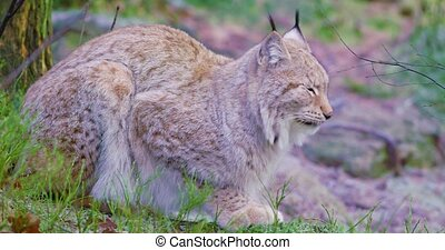 Two european lynx cats rests in the forest - Close-up of two...