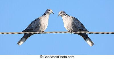 Two european turtle dove