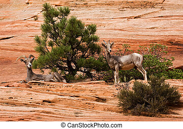 Two Ewes Big Horn Sheep On Red Rocks