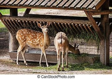 Two fallow deer (Dama dama) and feeder.