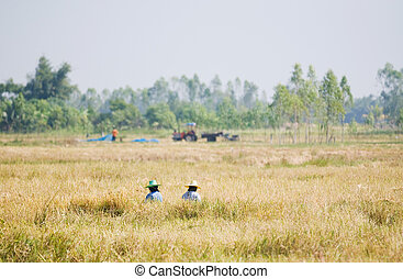 Two farmers harvesting rice by hand