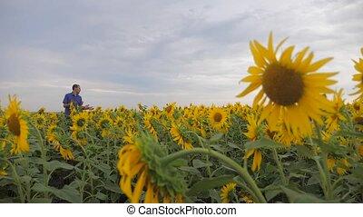 two farmers men explore walking examining crop of sunflowers...
