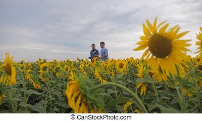 two farmers men explore walking examining crop of sunflowers...