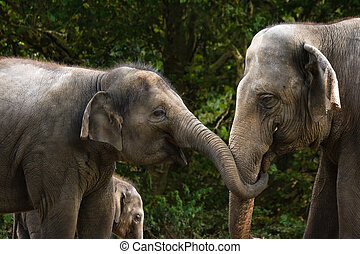 Two female asian elephants having fun by trying to steal...