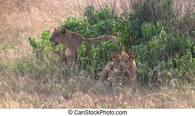 Two Female Lions Lying Down - Two Female Maneless Lions...