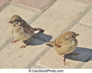 Two female of House sparrow