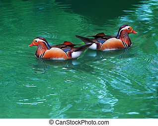 two female of mandarin duck floating on clear water