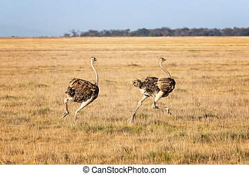 Two female ostriches running through Amboseli