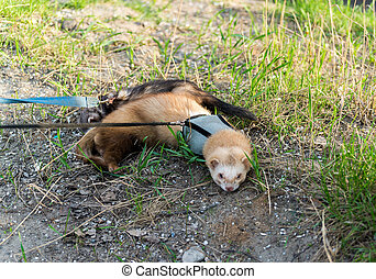 Two ferret for walk with a collar and leash - Two ferret for...