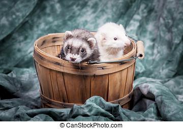 Two ferrets in basket. - Two small ferrets in a basket...