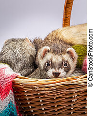 Two ferrets sitting in a basket