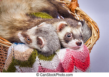 Two ferrets sitting in a basket