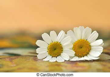 Two Feverfew flowers.