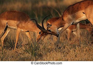 Two fighting Impalas (Aepyceros melampus) in the Okavango...