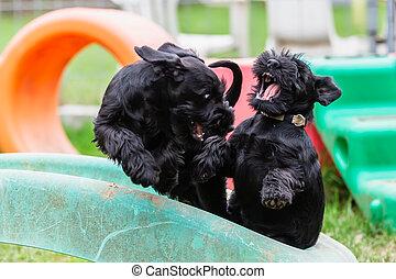 two fighting standard schnauzer puppies
