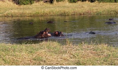 Two fighting young male hippopotamu - Two young male...