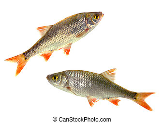 two fish roach, - two fish roach on white background