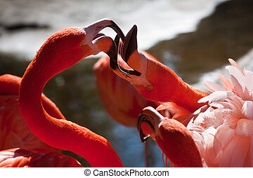 Two Flamingos Fighting
