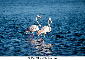 Two Flamingos in Bay