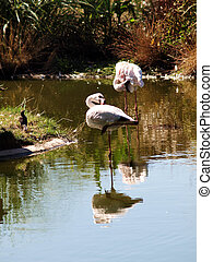 two flamingos preening in water with reflection