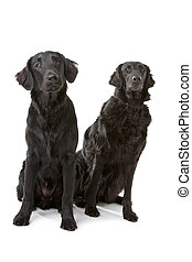 Two flat coated retriever dogs