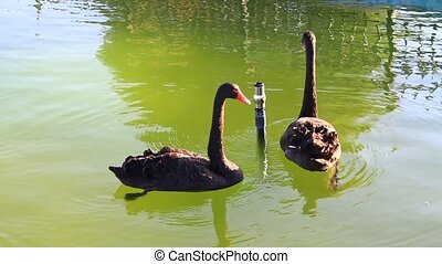 Two floating swans, one calls to it