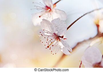 Two flowers of cherry in a sunlight