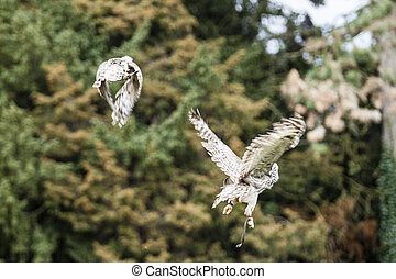 two flying owls in the forest