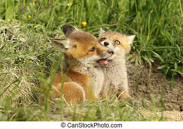 two fox cubs playing near the den