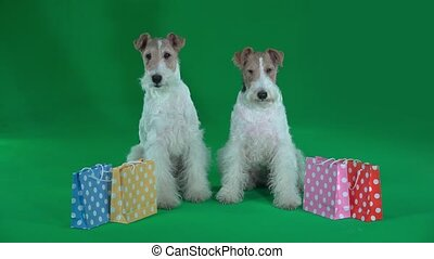 Two fox terriers are standing near the gift bags. Green...