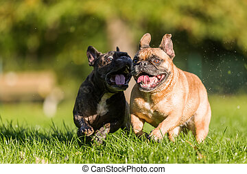 two french bulldogs running on the meadow