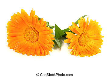 two fresh orange marigold flowers