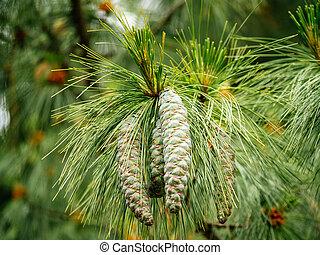 Two fresh pine tree cone